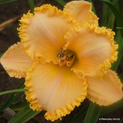 daylily 'Tickle Me Elmo'