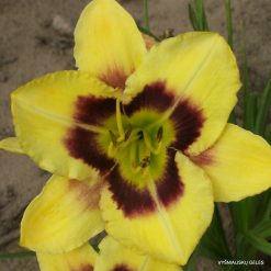 daylily 'Tomorow's Horizons'