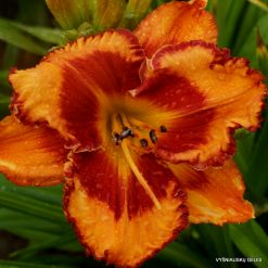 daylily 'Tropical Fusion'