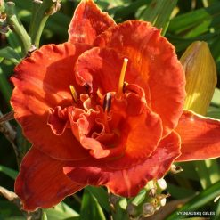 daylily 'Uncle Henry Of Oz'