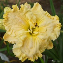 daylily 'Up Front Street'