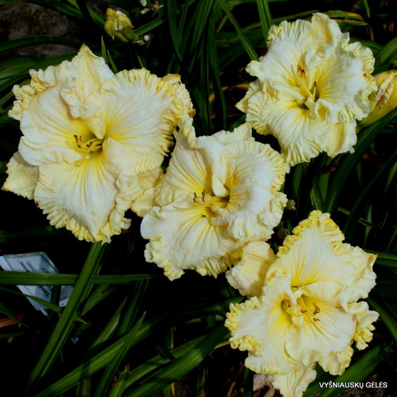 daylily 'Up Front Street' (3)