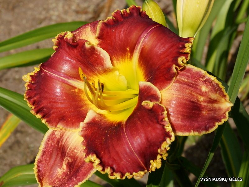 daylily 'Upon This Rock' (2)