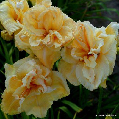 daylily 'Vanilla Fluff'