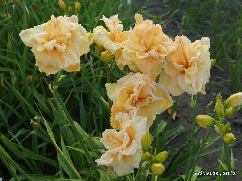 daylily 'Vanilla Fluff' (3)