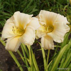 daylily 'Vanilla Stella' (2)