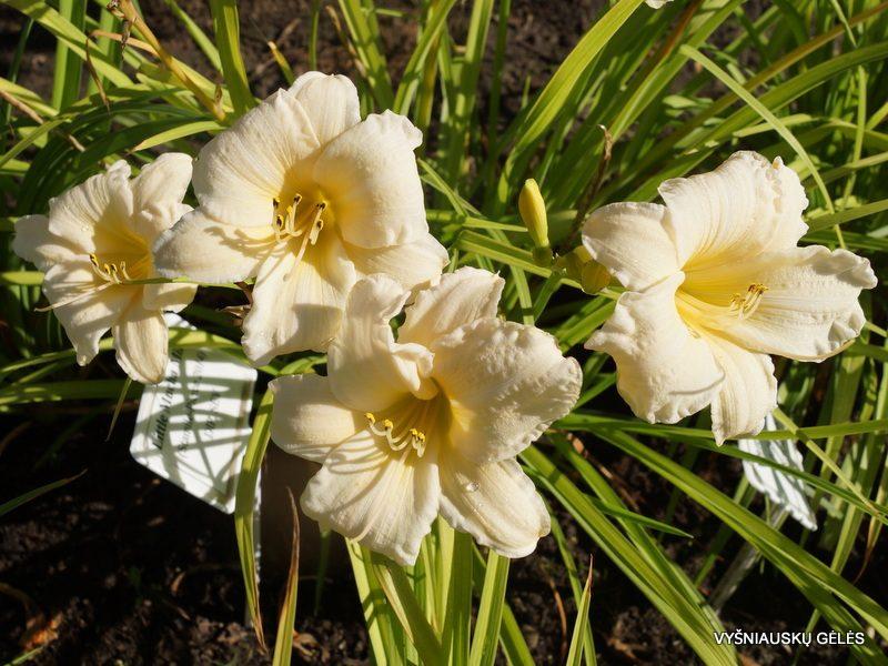 daylily 'Vanilla Stella' (3)