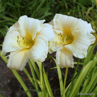 daylily 'Vanilla Stella'