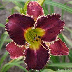 daylily 'Venus Flytrap'