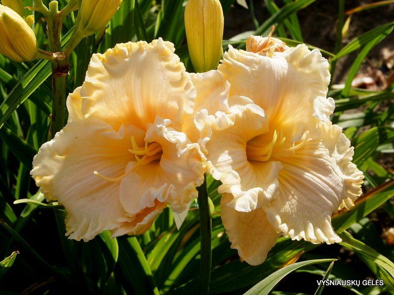 daylily 'Victorian Lace' (2)