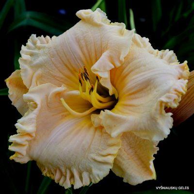 daylily 'Victorian Lace'