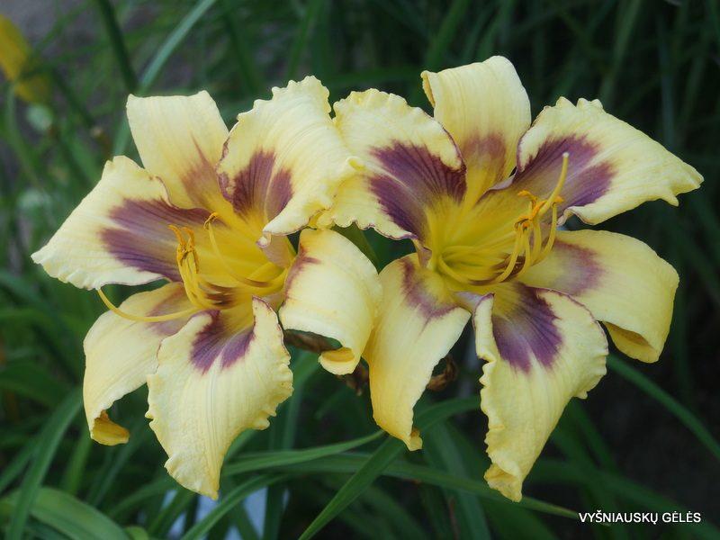 daylily 'Viva Pinata' (3)