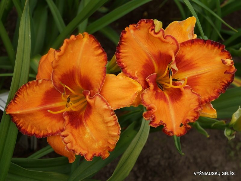 daylily 'Volcano Queen' (2)