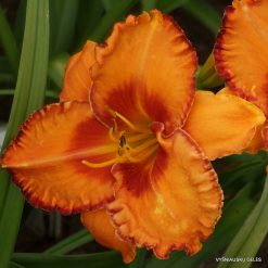 daylily 'Volcano Queen'