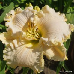 daylily 'Wedding Gown'