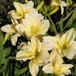 daylily 'White Dream' (2)