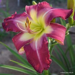 daylily 'White Eyes Pink Dragon'