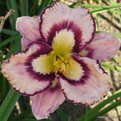 daylily 'Wild and Wacky'