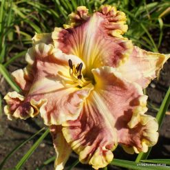 daylily 'Wings of Smoke'