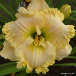 daylily 'Wonder of It All'
