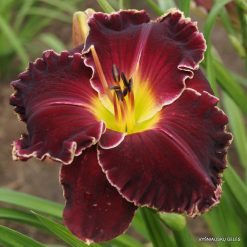 daylily'Born to Reign'