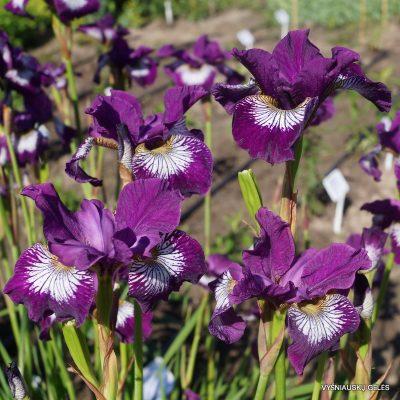 iris 'Demure Illini'