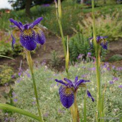 iris 'Ellebank Lacewing' (3)