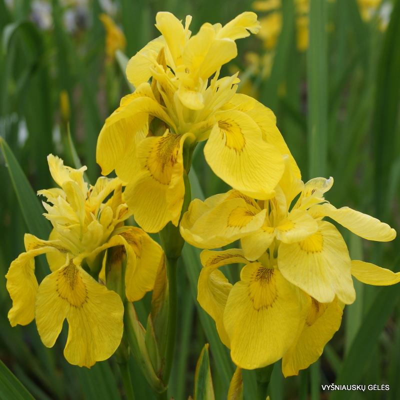 iris 'Flore Pleno'