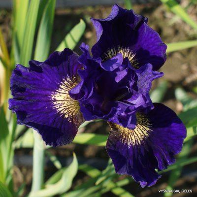 iris 'Over in Gloryland'