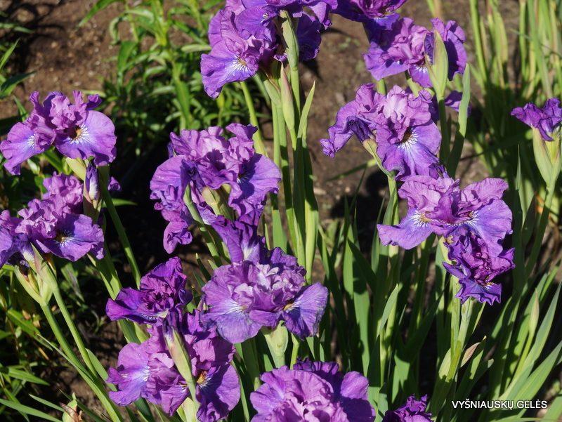 iris 'Rosy Bowls' (2)