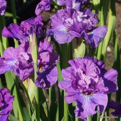 iris 'Rosy Bowls'