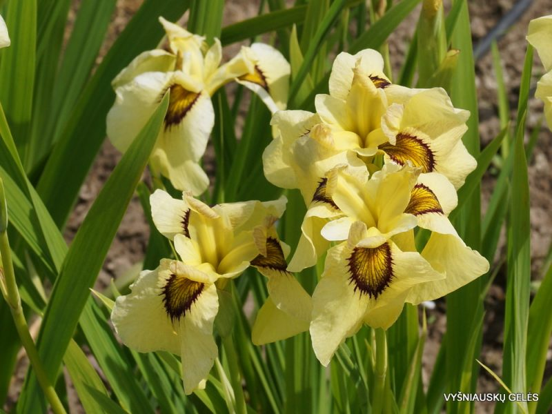 iris 'Ryugan' (2)