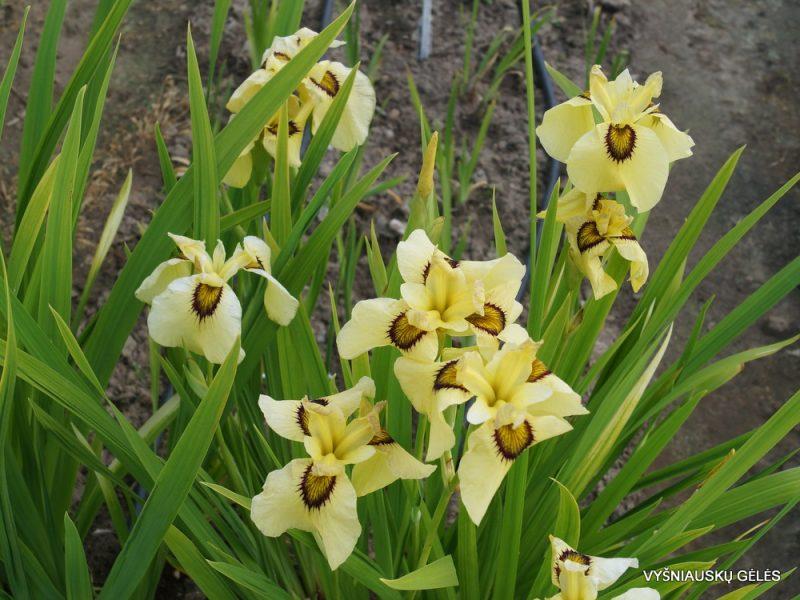 iris 'Ryugan' (3)