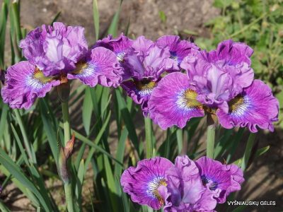 iris 'Strawberry Fair' (2)