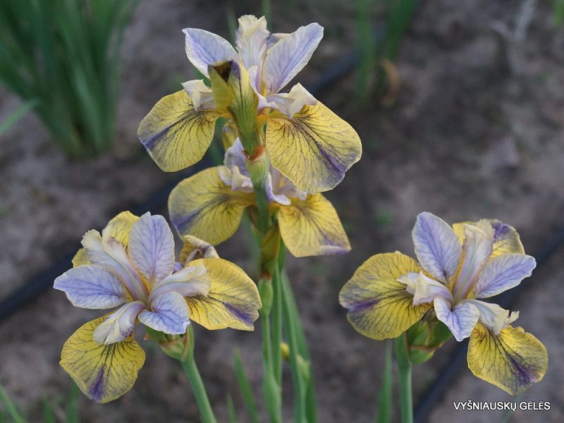 iris 'Tipped In Blue' (2)