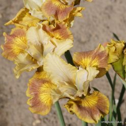 iris sibirica 'Flying Fiddles' (4)