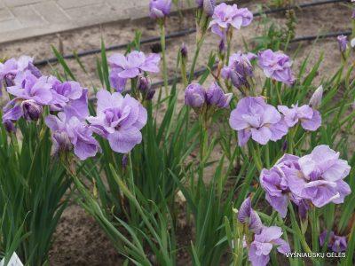 iris sibirica 'Imperial Opal' (2)