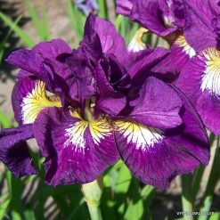 iris sibirica 'Shebang'