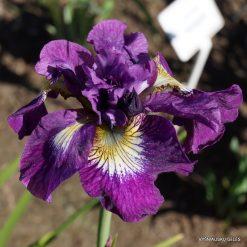 iris sibirica 'Shebang' (3)