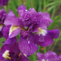 iris sibirica 'Shebang' (4)