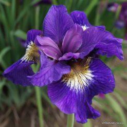 iris sibirica 'Tall Dark and Handsome' (4)