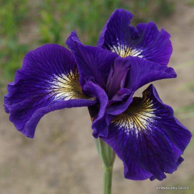 iris sibirica 'Tall Dark and Handsome'