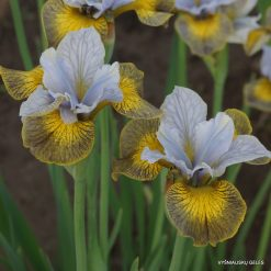 iris sibirica 'Uncorked' (5)