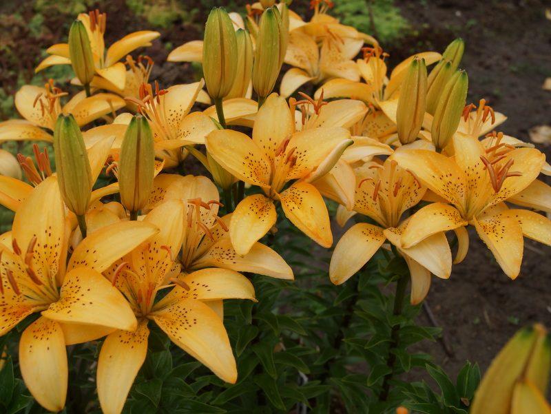 lily 'Abrikosinis Dangus' (3)