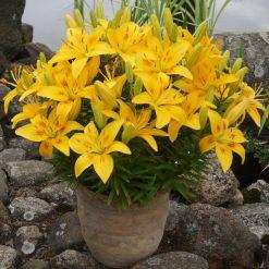 lily 'Mano Mažytė'