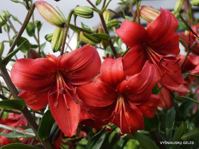 lily 'Pearl Loraine' (2)