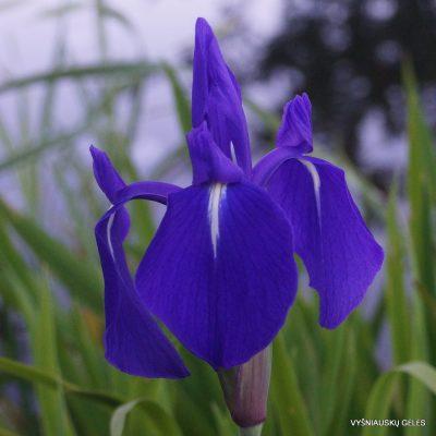 Iris laevigata 'Weymouth Blue' (2)