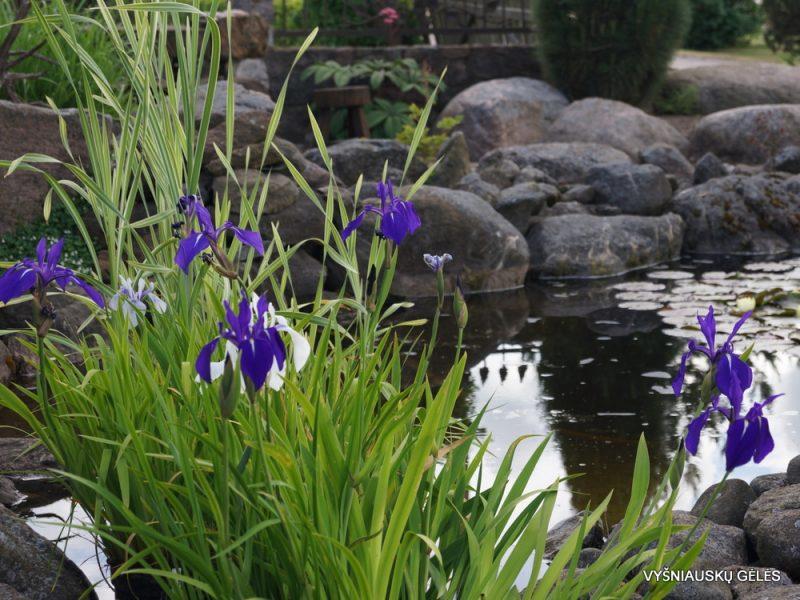 Iris laevigata 'Weymouth Blue' (3)
