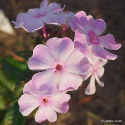 Phlox 'Benefice'