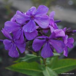 Phlox 'Blue Moon' (2)
